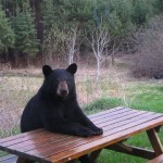 Bear at table